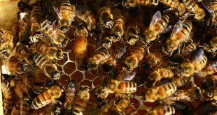 sindrome dell'ape regina