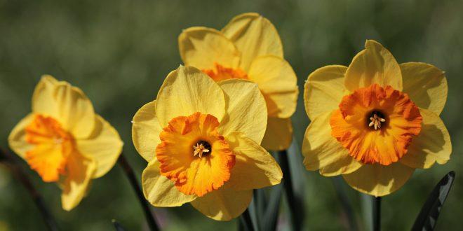 Il Significato dei fiori: narciso autunnale